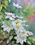 Garden clematis