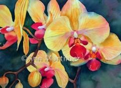 Yellow phalaenopsis