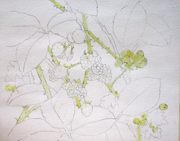 blackberries stage 1